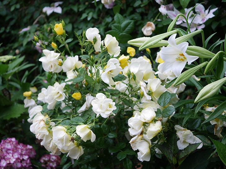 白いユリが咲いた。2021年-001.jpg
