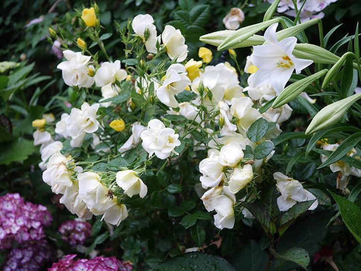 白いユリが咲いた。2021年-002.jpg