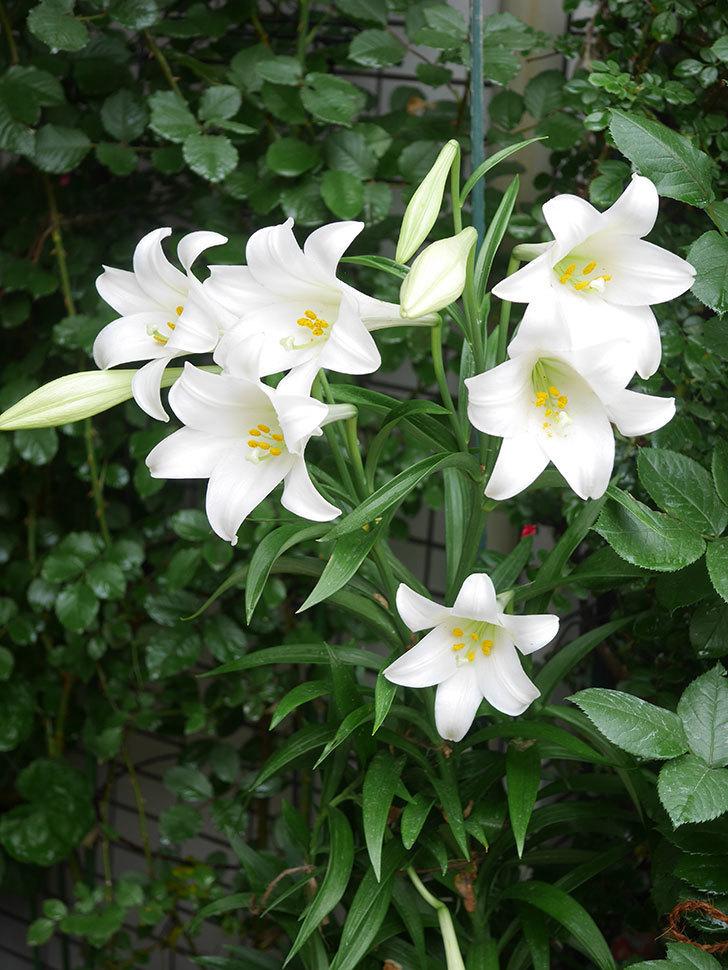 白いユリの花が増えてきた。2021年-008.jpg