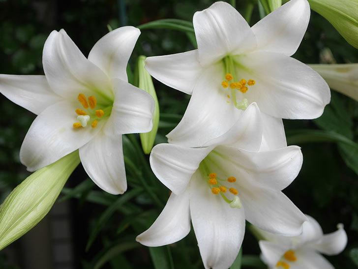 白いユリの花が増えてきた。2021年-010.jpg