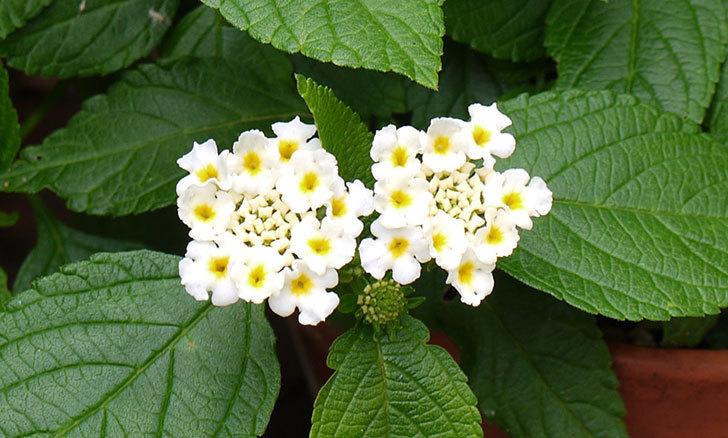 白いランタナが咲いた。2015年-2.jpg