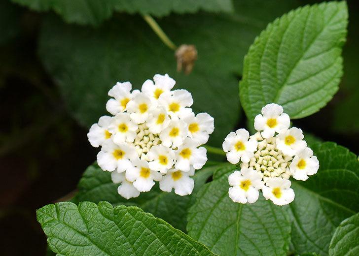 白いランタナが咲いた。2015年-3.jpg