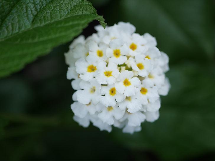 白いランタナが咲いた。2020年-002.jpg