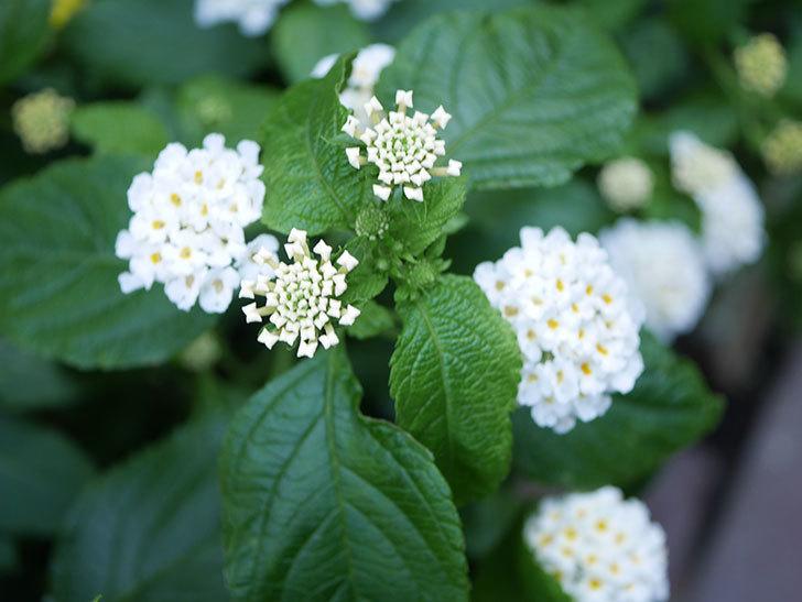 白いランタナが咲いた。2020年-003.jpg