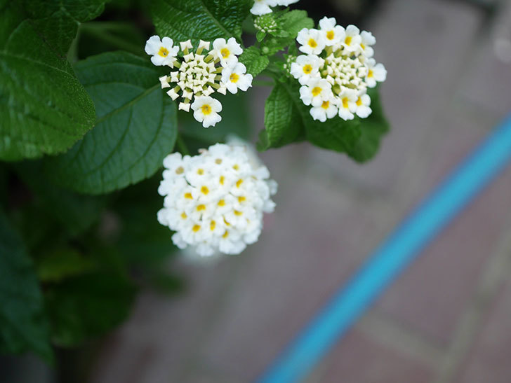 白いランタナが咲いた。2020年-004.jpg