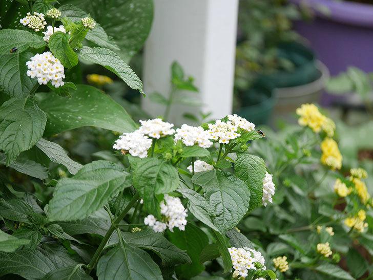 白いランタナが咲いた。2020年-005.jpg