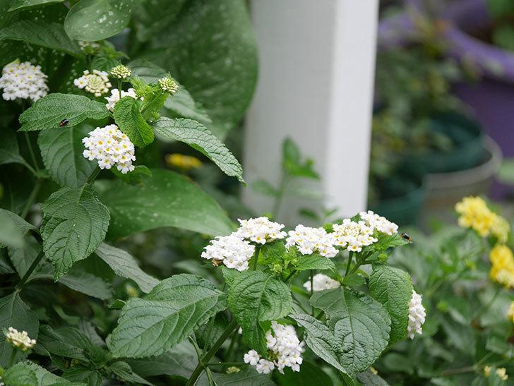 白いランタナが咲いた。2020年-006.jpg
