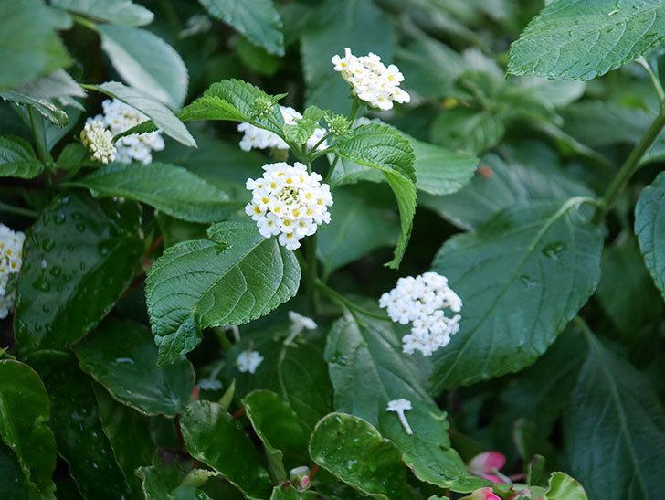 白いランタナが咲いた。2020年-007.jpg