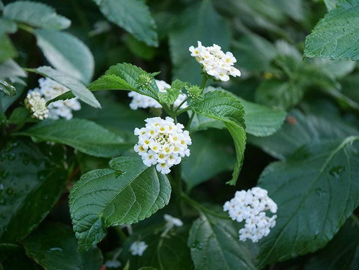 白いランタナが咲いた。2020年-008.jpg