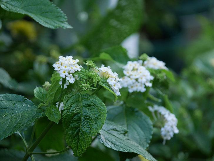 白いランタナが咲いた。2020年-009.jpg