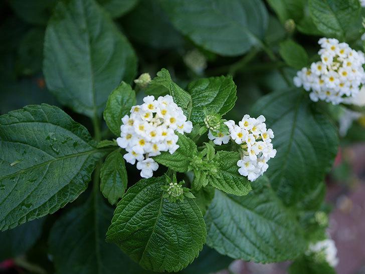 白いランタナが咲いた。2020年-012.jpg