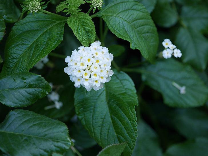 白いランタナが咲いた。2020年-013.jpg
