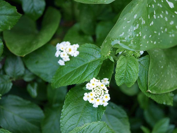 白いランタナが咲いた。2020年-014.jpg