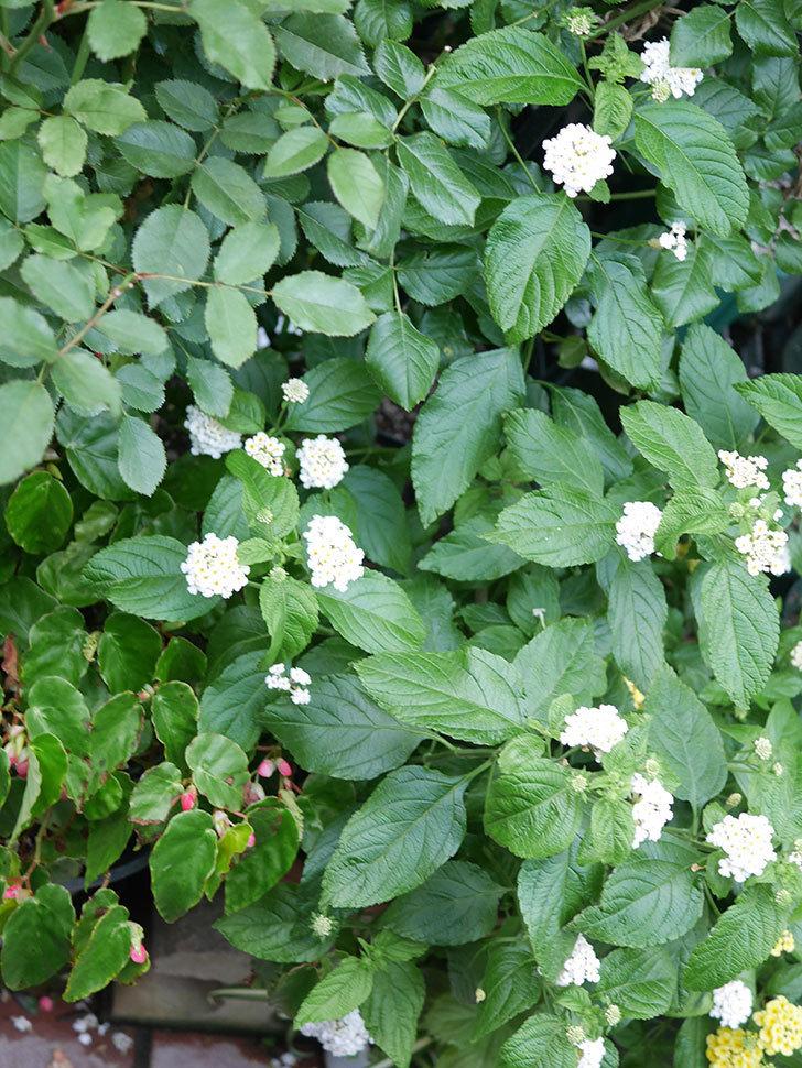 白いランタナが咲いた。2020年-016.jpg