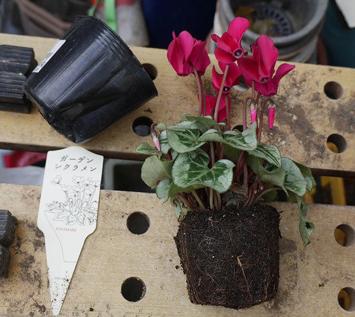 白と赤のガーデンシクラメンを鉢に植えた。2018年-2.jpg