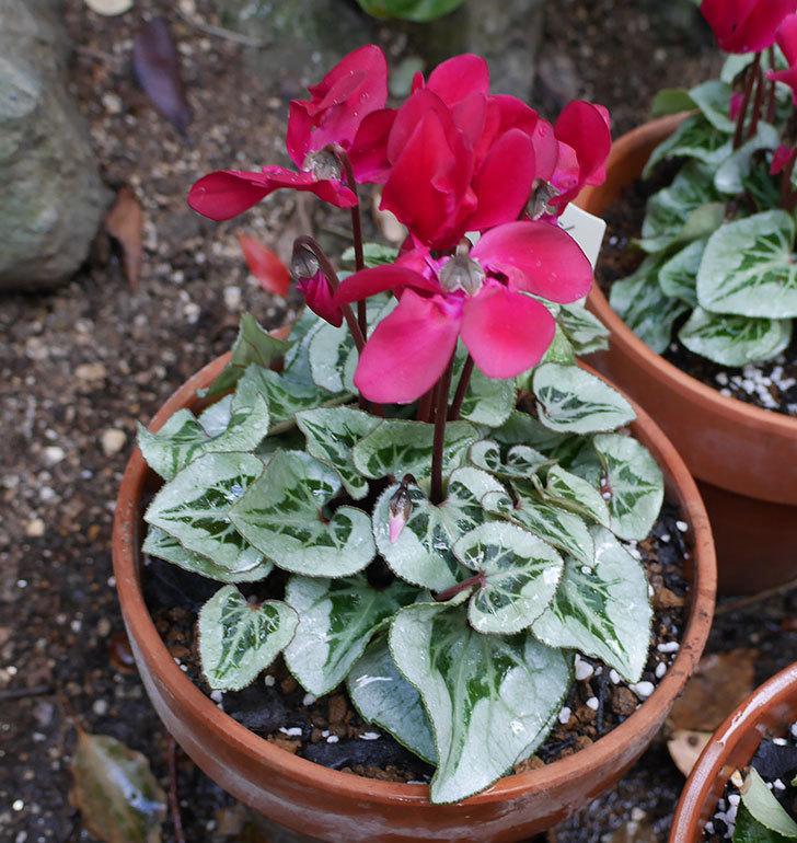 白と赤のガーデンシクラメンを鉢に植えた。2018年-4.jpg