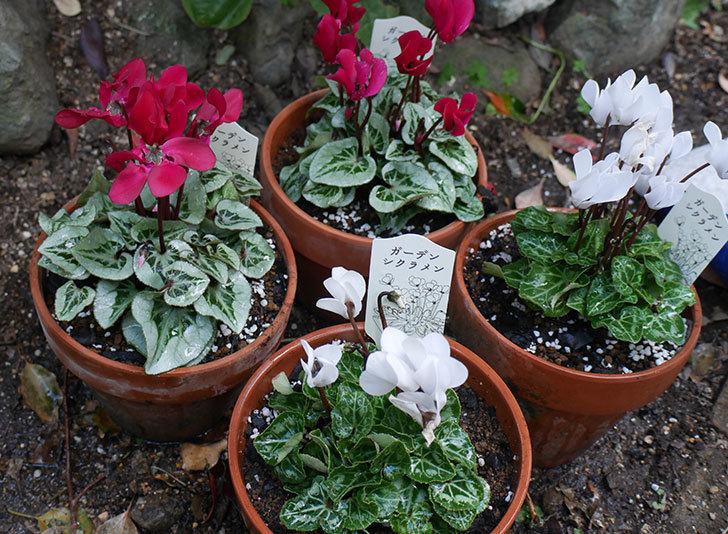 白と赤のガーデンシクラメンを鉢に植えた。2018年-6.jpg