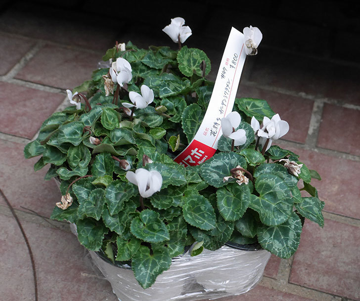 白のガーデンシクラメンの苗がホームズで5個800円だったので買って来た。2019年-1.jpg