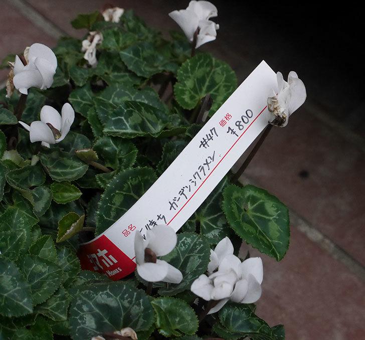 白のガーデンシクラメンの苗がホームズで5個800円だったので買って来た。2019年-2.jpg