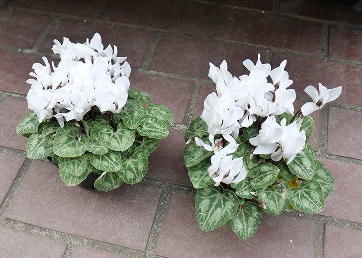 白のガーデンシクラメンの苗をケイヨーデイツーで2個買って来た。2018年-1.jpg