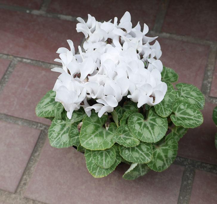 白のガーデンシクラメンの苗をケイヨーデイツーで2個買って来た。2018年-2.jpg