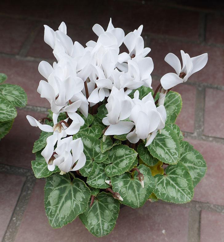 白のガーデンシクラメンの苗をケイヨーデイツーで2個買って来た。2018年-3.jpg