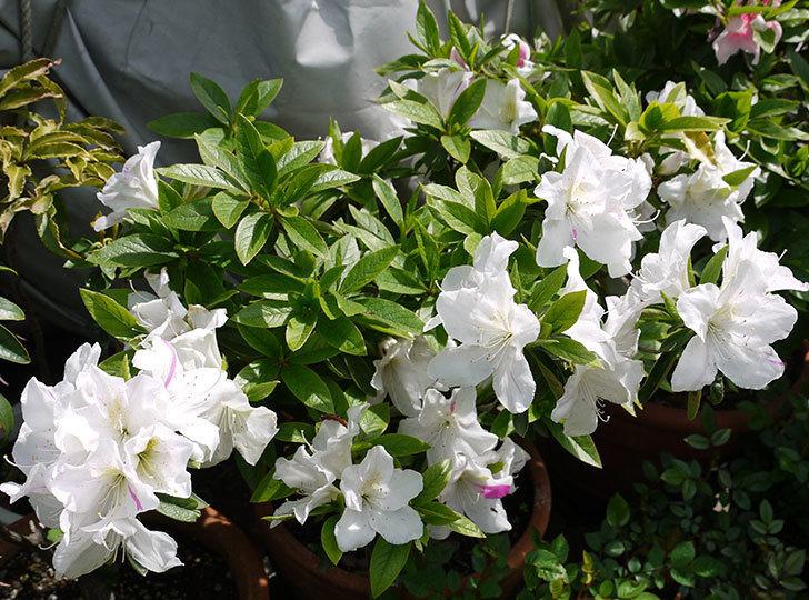 白のサツキがたくさん咲いた1.jpg