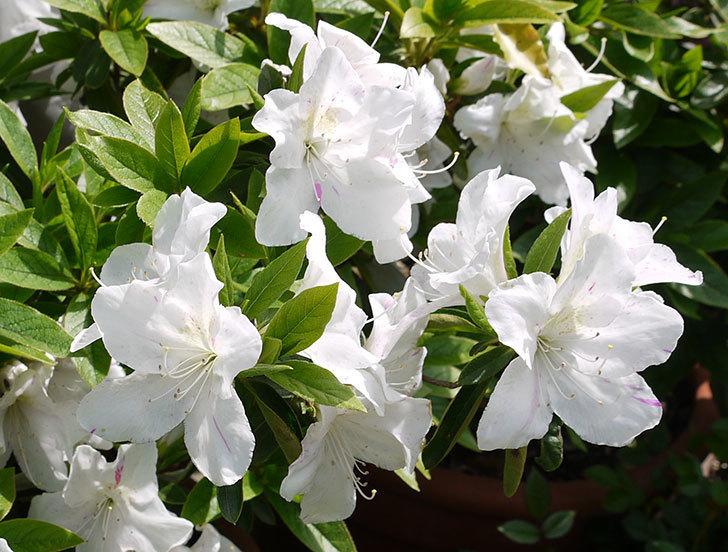 白のサツキがたくさん咲いた3.jpg