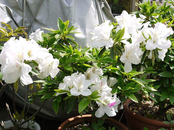 白のサツキがたくさん咲いた4.jpg