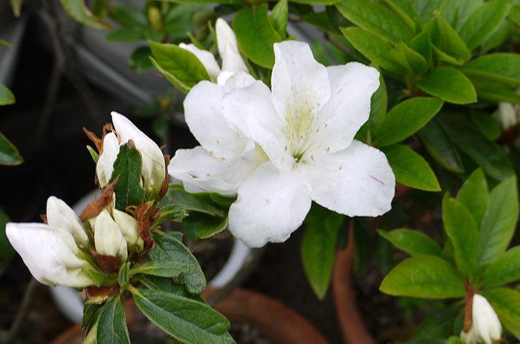 白のサツキが咲いた2.jpg