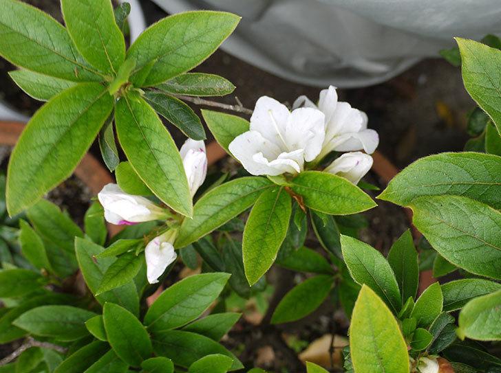 白のサツキが咲いた3.jpg
