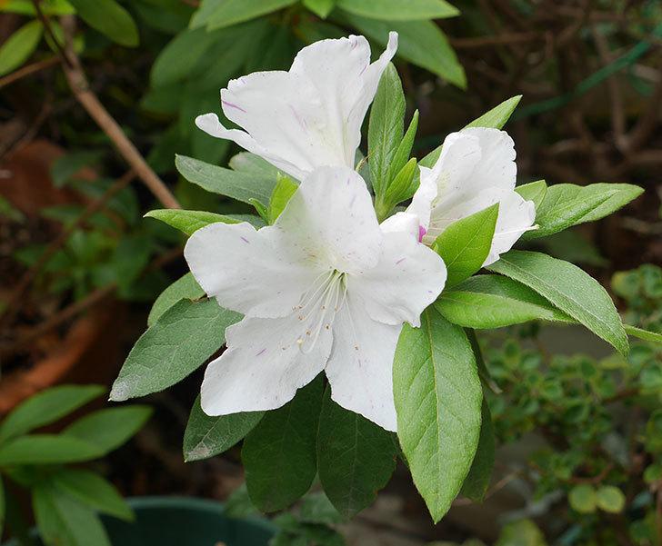 白のツツジの花が咲きだした。2019年-1.jpg