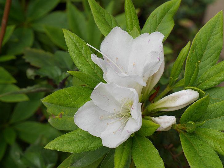 白のツツジの花が咲きだした。2019年-2.jpg