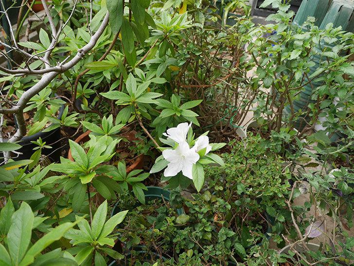 白のツツジの花が咲きだした。2019年-3.jpg