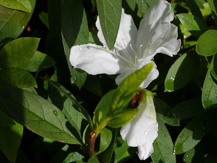 白のツツジの花が咲きだした。2020年-2.jpg