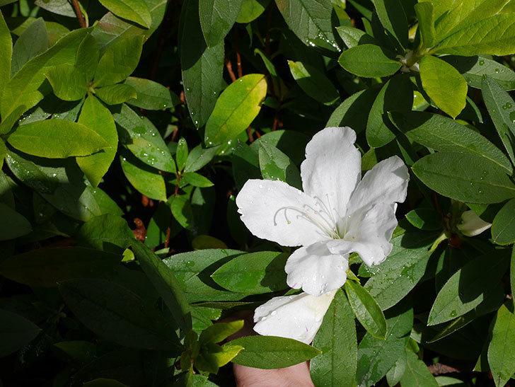 白のツツジの花が咲きだした。2020年-3.jpg