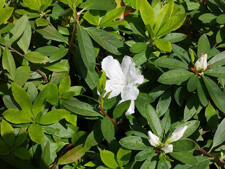 白のツツジの花が咲きだした。2020年-4.jpg