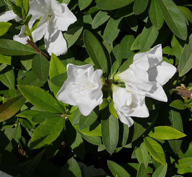 白のツツジの花が増えて来た。2020年-4.jpg
