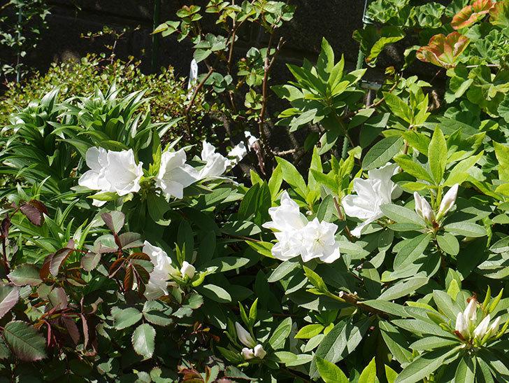 白のツツジの花が増えて来た。2020年-7.jpg