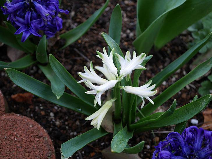 白のヒヤシンスの花が咲いた。2020年-2.jpg
