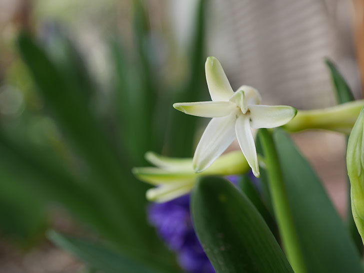 白のヒヤシンスの花が少し咲いた。2021年-007.jpg