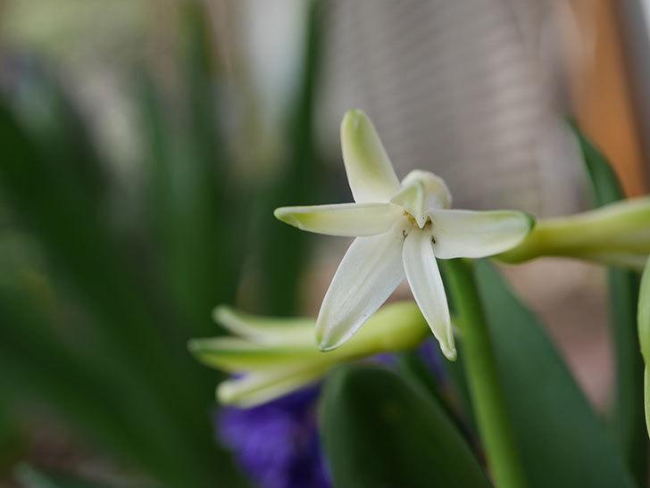 白のヒヤシンスの花が少し咲いた。2021年-008.jpg