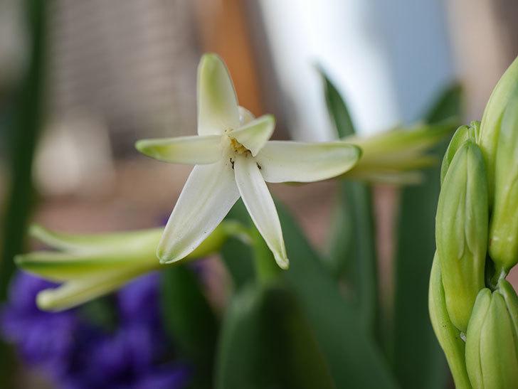 白のヒヤシンスの花が少し咲いた。2021年-012.jpg