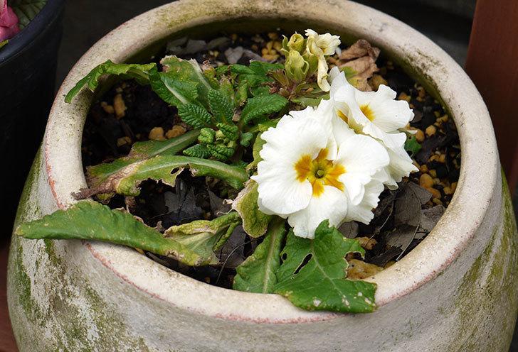 白のプリムラ・ジュリアンが咲いた1.jpg