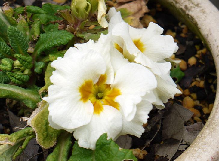 白のプリムラ・ジュリアンが咲いた2.jpg