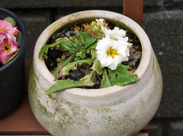 白のプリムラ・ジュリアンが咲いた3.jpg