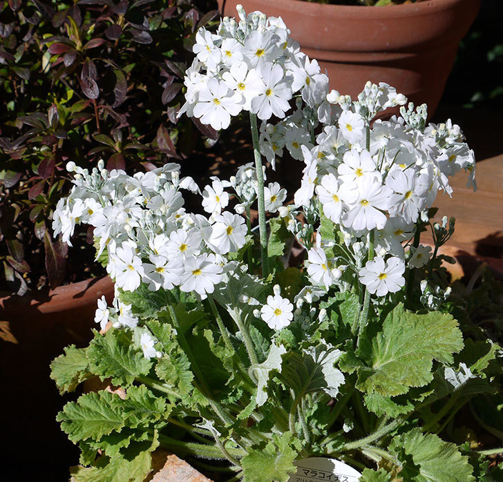 白のプリムラ・マラコイデスの花がたくさん咲いた。2017年-1.jpg