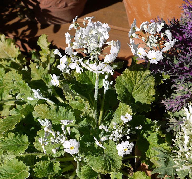 白のプリムラ・マラコイデスの花が増えてきた。2017年-1.jpg