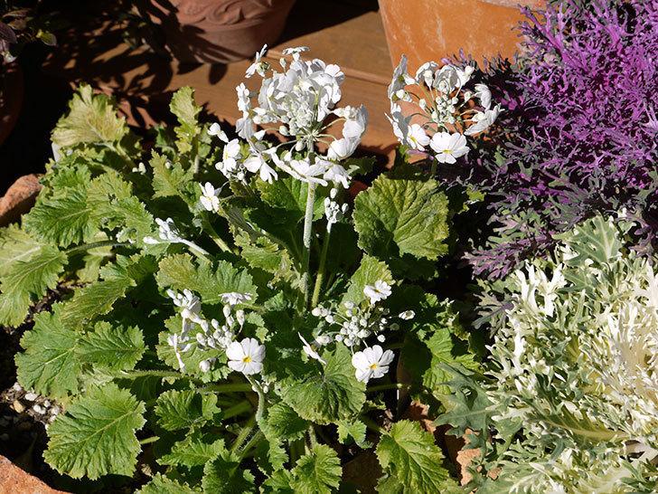 白のプリムラ・マラコイデスの花が増えてきた。2017年-3.jpg