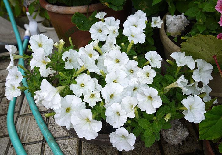 白のペチュニアが大量に咲いた1.jpg